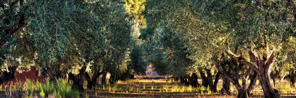 Diffondere presso gli olivicoltori la conoscenza  delle buone pratiche agricole e la cultura di un'agricoltura ecosostenibile